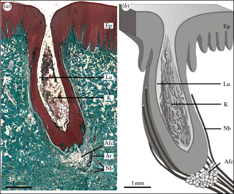 Figure 2. Cross section of the vibrissal crypts, (a)shows the stained section. (b) shows the nerve bundle containing the axons. [Figure taken from Czech-Damal et al. 2011]